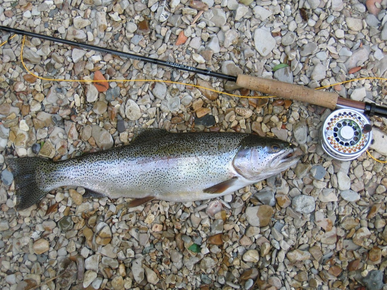 Rainbow trout and flyfishing rod
